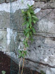 3 Lonicera henryi gepflanzt