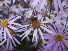 Die Bienen haben Freude an unserem Garten