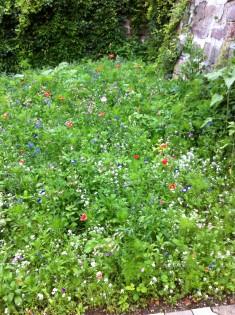 Im Anfangsstadium der Naturblumenwiese