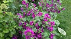 Die wilde Malve. Hier summt und brummt es im Sommer. Die Bienen sehen nach ihrem Besuch aus wie  ...
