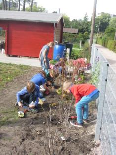dann haben Kinder aus dem Ganztag Frühjahrsfutter für das Wildbienenhotel gepflanzt…