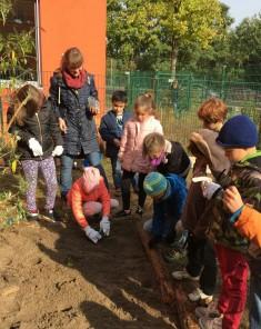 Die Kinder der Klasse 2a setzen Blumenzwiebeln in die Erde. Im Frühjahr sollen farbenfrohe Blüte ...