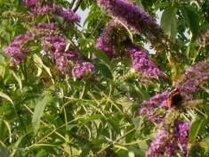 Der Sommerflieder blüht von Juni bis September – manchmal auch noch bis November