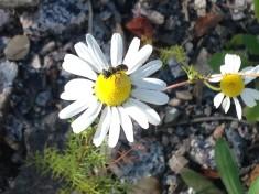 Löcherbiene auf Margerite