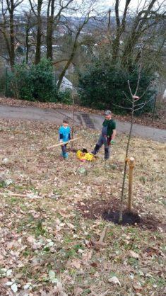 Obstbaum-Pflanzung im Wendekreisel