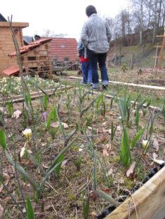 zweites wühlmaussicheres Beet im März 2017