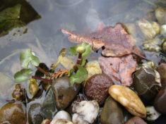Sumpfdotterblume (Knospe und junge Blätter) im Wasserbecken, welches vom Insektenhotel (Paletten ...