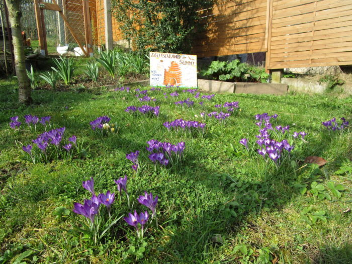 So sieht jetzt die neue Krokuswiese im Garten am Haus aus.