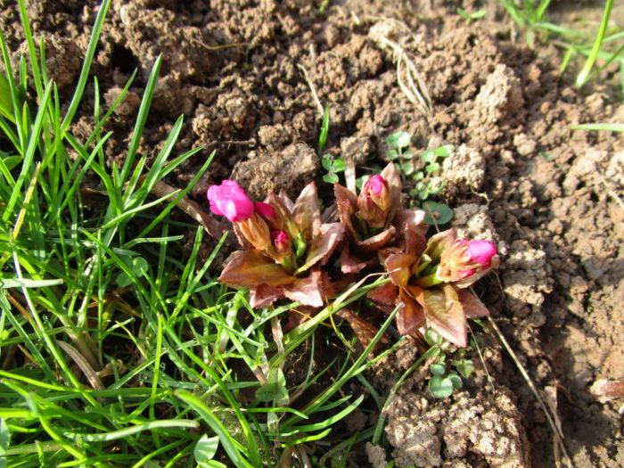 Die Rosenprimeln am Rand des Sumpfbeetes sind wie die Sumpfdotterblumen am Teichrand die ersten  ...