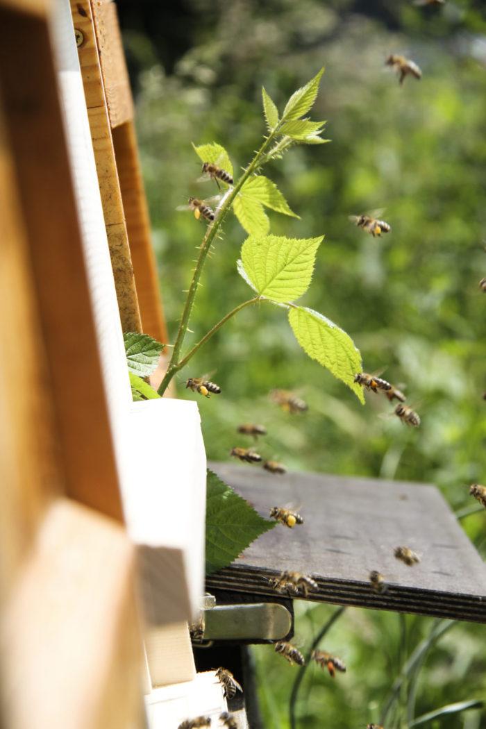 Nahaufnahme Bienen am Bienenstock