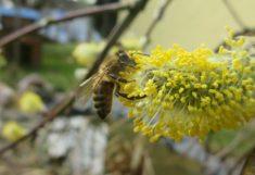 Die im letzten Jahr am neu angelegtem Bienentränketeich gepflanzte Weide blüht. Und die Bienen f ...