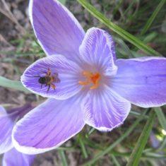 Auch eine rotschopfige Sandbiene sammelt schon Pollen im Krokus.