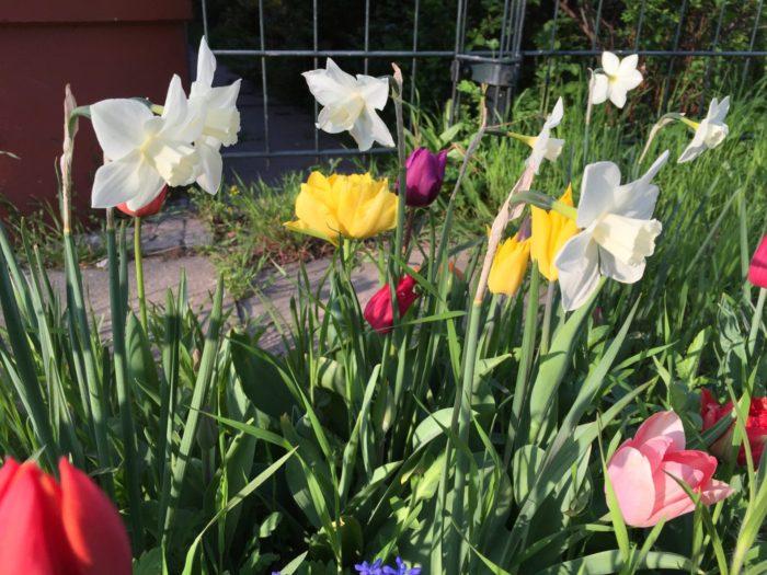 Narzissen und Tulpen