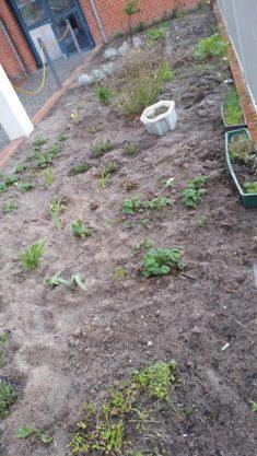 Kinder aus verschiedenen Klassen arbeiteten auf dem Beet, wendeten die Erde und gruben Quecke au ...