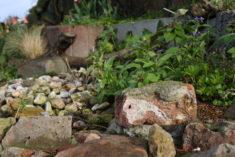 April 2017 / Zwischen Steinen wachsen im Beet die ersten Frühlings-Wildblumen, Rote Taubnesseln  ...