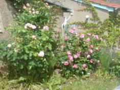 Vorher: Rosen ohne Nutzen für Wildbienen, weil gefüllt blühend