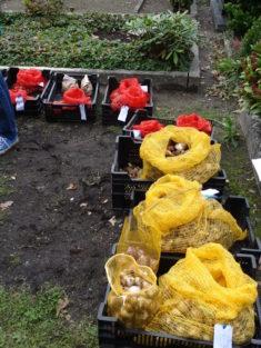 Die Gärtnerei Claussen hat uns 1000 Blumenzwiebeln bereit gestellt