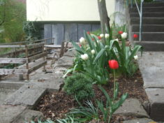 Die Krokusse sind bereits verblüht. Derzeit blühen die Tulpen und die Bienen sind kräftig am Summen.