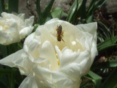 Die Bienen sind an dem herrlich sonnigen Tag fleißig unterwegs.