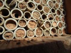 Mauerbiene schlüpft aus Niströhrchen unseres ersten Insektenhotels