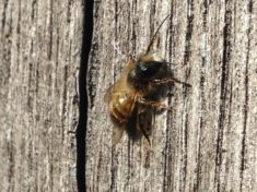 April: Die rote Mauerbiene (Osmia bicornis)