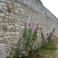 in direkter Nachbarschaft: Stockrosen an der schönen alten Stadtmauer