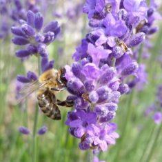 Ein großer Teil der 1.640 von uns aus Stecklingen selbst gezogenen Lavendelpflanzen blühte berei ...