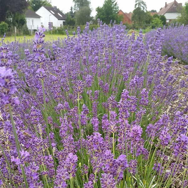 Im Sommer 2016 stand unser Lavendel-Labyrinth schon ab Juni in voller Blütenpracht!