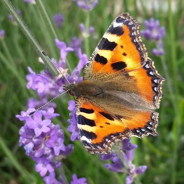 Nicht nur unsere Honigbienen freuen sich über die vielen Lavendel-Pflanzen.