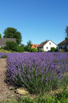 Lavendelblüte, Sommer 2016.