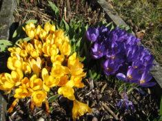In unserem Garten blühen viele Frühlingsblumen