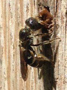 Mai: Hahnenfuß-Scherenbiene