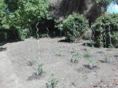 Tomatenstöcke mit selbstgebautem Bewässerungssystem