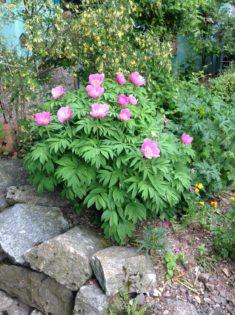 Mai: Zauberpflanze Pfingstenrose