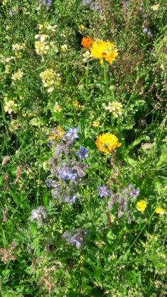 Die ertsen Ringelblumen und wunderschöner Borretsch