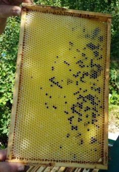 Wabe mit Phacelia (Bienenfreund)-Pollen