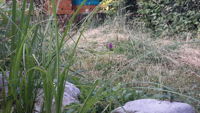 Der Ziest, eine beliebte Pflanze für Wollbienen beginnt zu blühen. Gepflanzt Ende April.