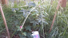 Eine alte Rosensorte, die Apothekerrose. Ungefüllt ist sie ein sehr guter Pollenspender. Auch ne ...