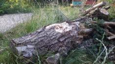 Ein neuer Totholzstamm am Bienentränketeich.