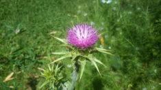 Auch die Mariendistel, die im Bienenweidesaatgut enthalten war blüht.