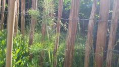 Gewürzfenchel ist auch ein guter Nahrungsspender, auch er ist eine unserer neuen Pflanzen am Sta ...
