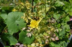 Die Akelei blüht, Kapuzinerkresse und Sonnenhut brauchen noch ein paar Tage Sonne.