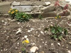 Die Stauden wachsen und gedeihen echt super. Seit dem 8. April, wo unsere Gruppe sie gepflanzt h ...