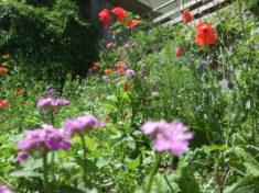 Blumen- und Kräuterwiese von Samen Fetzer. Eine Wildblumenmischung und Kräuterwiese aus mehr als ...