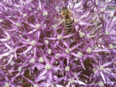 Bienenflug auf Allium