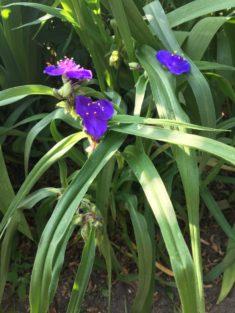 Dreimaster- Blumen