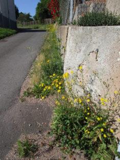 Entlang der Gartenmauer gemischter Wildwuchs inkl. jungen Lavendelpflanzen.