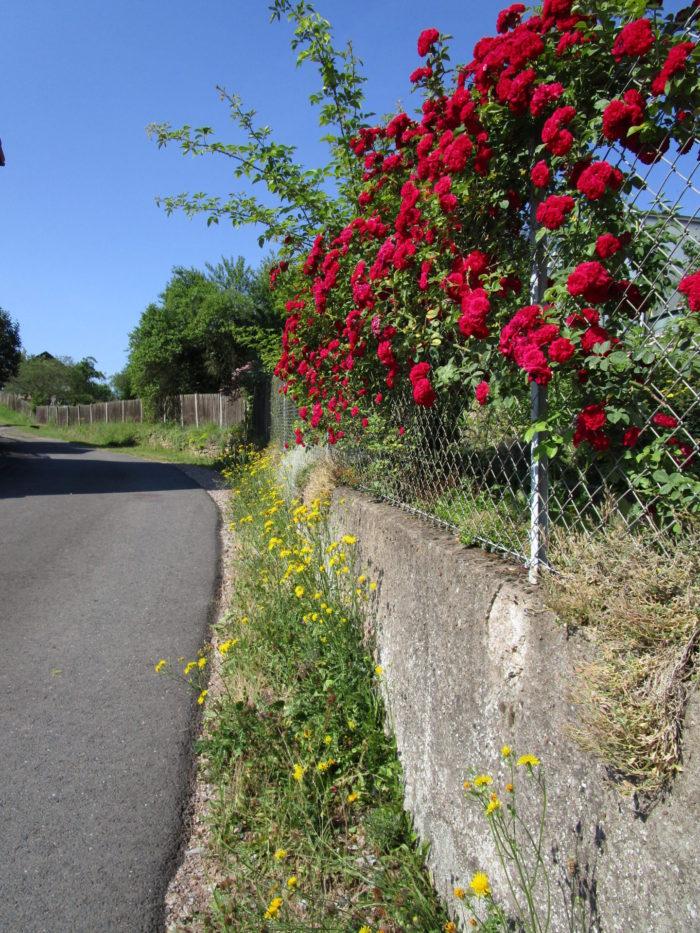 Wilde und gezähmte Blumen vertragen und ergänzen sich sehr gut.
