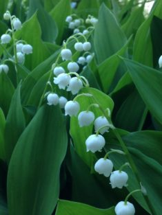 TIPP Mai: Maiglöckchen