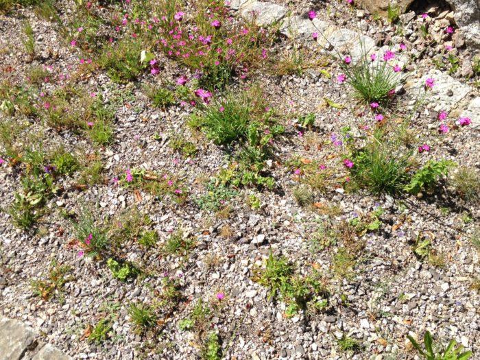 Nachher: Blumenschotter in der Vollblüte